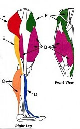 leg muscles used in the pedal stroke for cycling